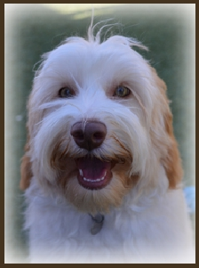 Upcoming/Current Puppies | Woofy World Labradoodles