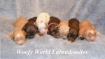 Foxie pups 1 week old.jpg