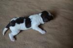 Puppy 5c Female - 1 week.JPG