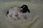 Puppy 6b Male - 2 weeks.JPG