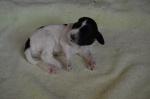 Puppy 6b Male - 2 weeks.JPG