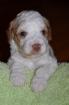 Puppy 1a Male - 3 Weeks.JPG
