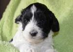 Puppy 6a - 4 weeks.JPG