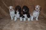 Tango Puppies - Group a.JPG