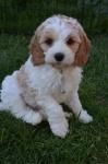 Puppy #2 Male.JPG