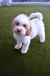 Puppy #1 Male.JPG